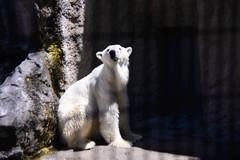 2016 北海道D6 4x6 3297 (chaochun777) Tags: 北海道 旭山 動物園 露營 自由行 猴子 長臂猿 猩猩 雲豹 花豹 老虎 獅子 北極熊 企鵝