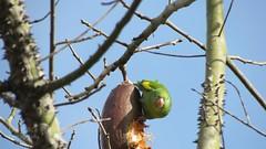 Catita Chirir (fran.rebolledo) Tags: cotorra argentina buenosaires ave bird picmonkey