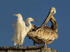 Interspecies Lounging (Ingrid Taylar) Tags: california roof summer white rooftop pelicans marina preening olympus perched brownpelican herons omd snowyegret egrets em1 2016 egrettathula pelecanusoccidentalis egretrs