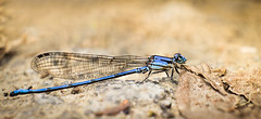 Dragonfly (ivandcastrillon) Tags: camera naturaleza flower macro nature fauna canon bug insect photography photo colombia colours dragonfly medellin liblula antioquia diversidad