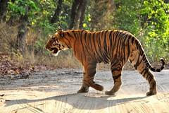 DSC_2967 (ajwhitehead1979) Tags: bengaltiger bhandavgarh india royalbengaltiger tiger