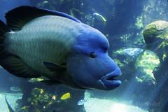 Poisson Napolon (cedric.harbulot) Tags: nikon d5300 18250mm sigma nouvellecaldonie nouma aquarium des lagons poisson ocan mer eau animal newcaledonia fish lagoon ocean water sea napolon cheilinus undulatus