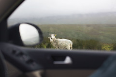 the watchers... (CatMacBride) Tags: sheep watch mountain rain car window canon5dmkiii 50mm f12 dublin ireland