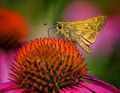 What a Wonderful World (kathybaca) Tags: explore animal animals insect insects butterfly skipper flower macro nature wildlife fly planet world earth preserve coneflower summer sunny nectar