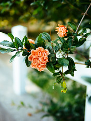 Flowering (K.G.23) Tags: omdem5markii vscofilm m43 panasonic25mmf14 vscofilm04 omd olympus mft paradou provencealpesctedazur france fr