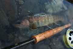 Iwana DSC_2945 (touhenboku) Tags: iwana fly flyfishing