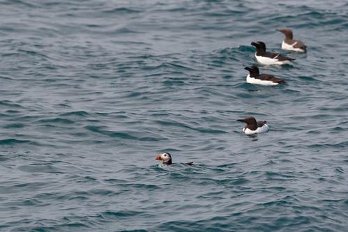 Pingouins torda (Alca torda) et macareux moine (Fratercula arctica)
