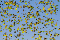 IMG_0289.jpg (Paul Williams www.IronAmmonitePhotography.com) Tags: bird budgerigar summer murmuration dryseason melopsittacusundulatus australia