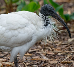 CCE_2030-Edit.jpg (carlopinarello) Tags: zoom d800e nl200500 mtcootthagardens waterbird nikon200500mmf56 ibis bird queensland qld