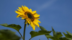 A un ami *----+--° (Titole) Tags: tournesol sunflower bluesky titole nicolefaton yellow flower challengeyouwinner