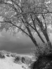 Survivors, Sleeping Bear Dunes, MI, 2016 (Tom Powell) Tags: lakemichigan lakemichiganoverlook piercestockingdrive sleepingbeardunes michigan leelanau nikond40 blackandwhite monochrome 2016