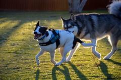 DSC_0024-1 (ScootaCoota Photography) Tags: dog pet animal border collie labrador park play outdoors nature malamute