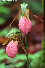 Pink Lady's Slipper Pair (freshairphoto) Tags: wildflower pink ladys slipper adirondack park newyork rain droplets artspearing nikon d70 300mm telephoto extension tubes tripod