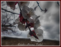 Flor del damasco (Carlos Gauna Vidal) Tags: flor damasco apricot fz200 panasonic