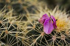 Cactus (briejeshpatel) Tags: brijesh patel briejeshpatel karnataka flowershowaugust152016 macro flowers canon 7dcanon l lens dslrcanon 100mm f28l bangalore lalbagh flower show2016 f28 macrophotography macrography