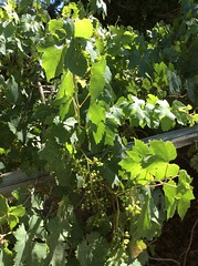 Vitis vinifera - grapevine (rmcgabhainn) Tags: nevada vitaceae plant cultivated leaves fruit