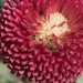 English Daisy Flower - Bellis perennis - ACT - Austalia - 20160830 @ 12:31