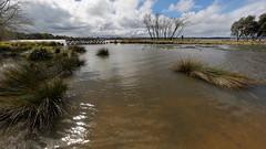 After the Rain (blachswan) Tags: ballarat victoria australia lakewendouree spring swans blackswan cygnet blackswancygnet cygnets blackswancygnets yuilleisland water