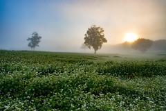 Buckwheat fields in the morning (shinichiro*) Tags: 南会津郡 福島県 日本 jp 20160902ds38913 2016 crazyshin nikond4s afsnikkor1424mmf28ged たかつえ 南会津 takatasue fukushima japan ソバ 朝霧 buckwheat soba morningmist 29120102490 731055 201703gettyuploadesp