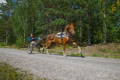 Trot (jptoivon) Tags: nikon autumn d800 summer lappeenranta suomi trot horse cart ravi canal saimaa lake road run hevonen man