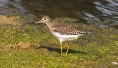 7K8A8883 (rpealit) Tags: scenery wildife nature east hatchery hackettstown alumni field solitary sandpiper bird