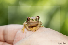 Froggie 2 (Louis and Marie Helberg) Tags: frog animal africa outdoors wildlife nature