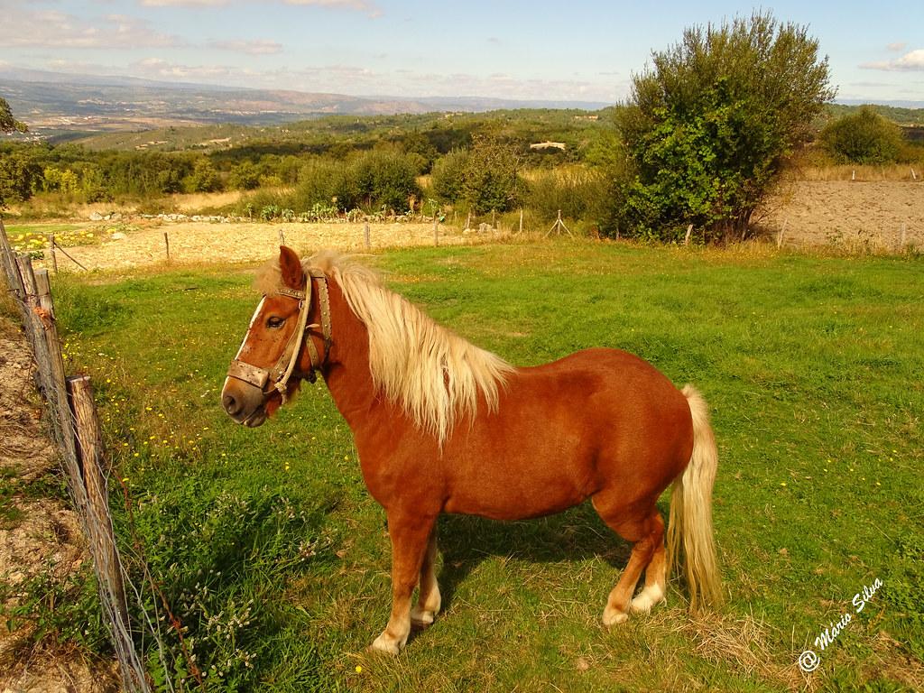 Águas Frias (Chaves) - ... belo exemplar de cavalo ... usufruindo de vasto pasto ...