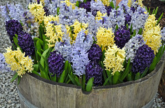 Colorful spring hyacinth (Perl Photography) Tags: hyacinth flowers floral spring fragrant nature garden blossoms petals plant planter blue yellow purple gardening botanical colorful perennial