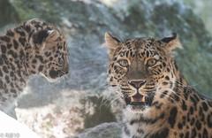 You sure this one is mine?! (RJB10) Tags: zoo cat literoom5 marwell highqualityanimals bokeh blinkagain portrait cats bigcat d300s leopardcub 70200mm dof leopard