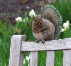 ever seen a fat squirrel? (LotusMoon Photography) Tags: squirrel animal outdoor nature park garden yard backyard rodent bench annasheradon lotusmoonphotography