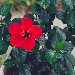 red flower green leaves (sal tinoco) Tags: leaf leaves flower flowers fantasticflower green red outside nature plant pollen blossom beautiful colors color