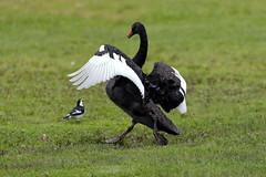 Stop! (blachswan) Tags: ballarat victoria australia lakewendouree lake stop blackswan magpielark