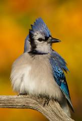 Golden (Bill McMullen) Tags: bluejay birds autumn wildlife animals fall fauna colour ontario