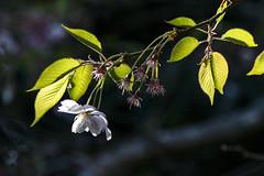Cherry Blossum (Ian@NZFlickr) Tags: cherry blossum
