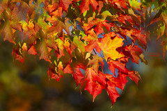 ... whispers in the sun ... (mariola aga) Tags: belviderepark belvidere park autumn tree branch leaves colors change red yellow green bokeh dof whispers sun light