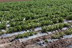 ckuchem-0824 (christine_kuchem) Tags: ackerrand agrarlandschaft erdbeeren erdbeerfeld feld felder folie folientunnel freiland gewchshaus landwirtschaft mulch mulchdecke treibhaus mulchen