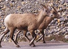 Bighorn Sheep (Larry Myhre) Tags: bighornsheep animals banffnationalpark alberta canada rockymountains icefieldsparkway canadianrockies bcalbertasept2016