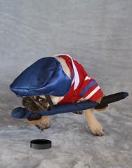 Boo The Hockey Player Pug (DaPuglet) Tags: pug pugs dog dogs puppy puppies pet pets animal animals halloween costume hockey montreal canadiens montrealcanadiens habs jersey team sports ice puck stick fan