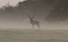 DSC08682 (ostlerman3) Tags: red deer woollaton park early morning