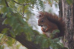 petit roux (Bernardvinc) Tags: squirel écureuil light lumière automne autumn nikon green vert wildlife sauvage