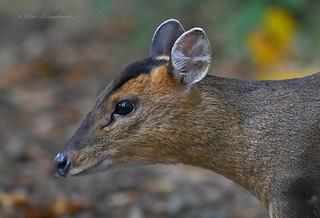 Muntjac Deer (explored)