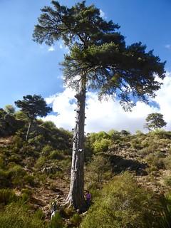 Pino Galapán (Sierras de Cazorla, Segura y las Villas)
