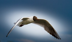 Brown-headed gull (PHOTOGRAPHY By Martin Aldous) Tags: