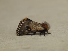 Epicoma contristis (dhobern) Tags: november sydney australia lepidoptera nsw notodontidae 2014 thaumetopoeinae epicoma contristis