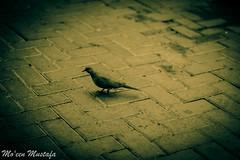 Dove (MoeenMustafa) Tags: bird birds animals duck cool uae emirates whiteduck brownduck canon600d