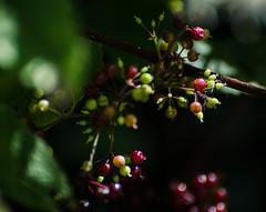 Baneberries (hickamorehackamore) Tags: summer backyard nikon berries native connecticut wildlife ct september habitat certified nwf 2014 baneberry redbaneberry actaearubra haddam