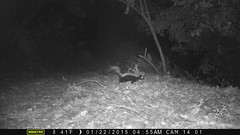 Striped skunk; 1/22/2015; San Mateo County, CA (BobcatWeather) Tags: california mammal carnivore sanmateocounty motionsensor mephitidae stripedskunk cameratrap mephitismephitis bobcatweather georgiastigall fwnp
