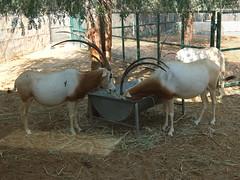 Scimitar-horned Oryx tuck in (oldandsolo) Tags: fauna zoo uae abudhabi antelope unitedarabemirates oryx herbivore ungulates zoologicalgardens scimitarhornedoryx oryxdammah scimitaroryx saharaoryx emiratesparkzoo samhaabudhabi