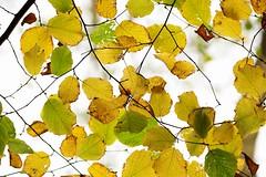 Bladerdak (Omroep Zeeland) Tags: kleuren bladeren onderkant