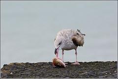 Zilvermeeuw/Gul (pietplaat) Tags: scheveningen vogels gul zilvermeeuw zuiderhavenhoofd pietplaat